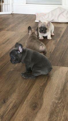 Cute Bulldog Puppies, Super Cute Puppies, Baby Animals Super Cute, Cute Baby Dogs, Cute Little Puppies, Cute Funny Dogs, Cute Dogs And Puppies, Cute Little Animals, Cute Funny Animals