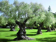 les oliviers... http://www.derbez-paysage.com/upload/projects/090920091552_Image909.jpg