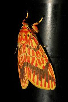 Footman Moth (Barsine sp., Lithosiini, Arctiinae) | Flickr - Photo Sharing!