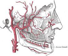 middle meningeal artery.