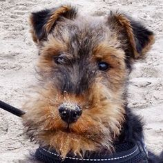 Welsh Terrier puppy