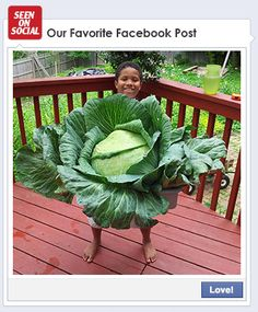 "Boy Holding a Large Cabbage  -  This young man from McLean, VA grew a cabbage big enough to hide behind (a whopping 21.6 lbs) as part of Bonnie's 3rd Grade Cabbage Program. His secret? ""We used compost and fresh fish guts under the plant as fertilizer."