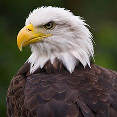No coração você é uma águia