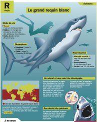 Le grand requin blanc - Mon Quotidien, le seul site d'information quotidien pour les 10 - 14 ans !