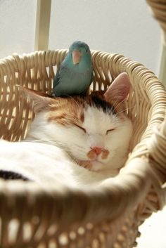 Sleeping cat with his little blue bird friend #cure #animals
