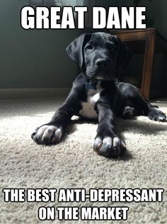 #greatdane #dogs.   Nothing like a big sad face and a happy hiney/tail to make you smile!