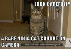 Look carefully A rare ninja cat caught on camera Funny Cat Memes, Funny Cats, Funny Animals, Cute Animals, Animal Funnies, Ninja Cats, Beautiful Cats, We The People, That Way