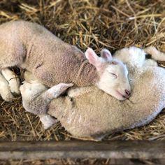 "Sara Dunham on Instagram: ""Best. Pillow. Ever. 💕 #lambcamp #finalfrontierfarm"" Cute Baby Animals, Farm Animals, Animals And Pets, Cute Lamb, Cute Goats, Sheep And Lamb, Tier Fotos, Cute Animal Pictures, Pet Birds"