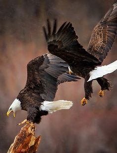 Eagles in flight Pretty Birds, Love Birds, Beautiful Birds, Animals Beautiful, Beautiful Pictures, The Eagles, Bald Eagles, Kinds Of Birds, Mundo Animal