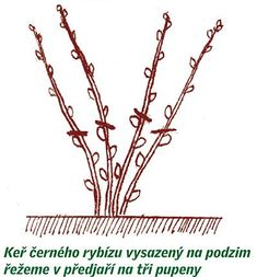 zmlazovací řez Hair Accessories, Plants, Beauty, Gardening, Red Peppers, Lawn And Garden, Flora, Cosmetology, Plant