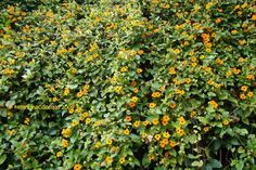 """Annual vines might be the best option for our """"vine box.""""  Thunbergia would add all-season color without taking over the entire structure.  Best of all, next year, we could try something different."""