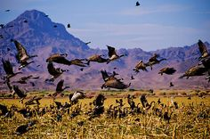 Do you like those great Wildlife shots against the purple mountains majesty? This is The Cibola Wildlife Refuge, south of Blythe, California!