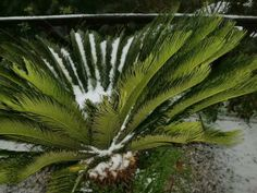 Snow in a little palm. #villarica, #sicily