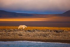 Polar bear on Wrangel Island, Russian High Arctic  A polar bear wanders along the ice-free shoreline of Wrangel Island in the Russian High Arctic in early August, subsisting on his fat reserves and waiting for sea ice to form again. Although in the past the ice remained near the island all year round, enabling bears to hunt for seals even in late summer, now the ice recedes far away toward the central polar basin for several months during the melt season.