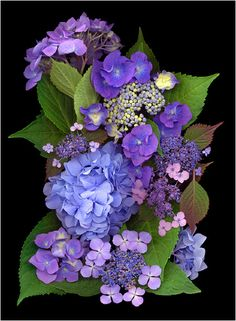 ❈ Fleurs Foncées ❈ dark art photography flowers botanical prints - Blue Hydrangeas | Scanner Photography by Ellen Hoverkamp