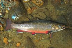 brook trout pictures | Trout Print: Brook Trout - Spawning Male - Botanical Prints, Bird