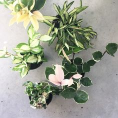 We just got in a medley of Hoya plants the variegated solid pink ones are our favs. #ModernPlantStyle #theZenSucculent