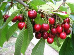 Beautiful red cherries. I only had a single Rainier Cherry on my tree this year. WTH?!