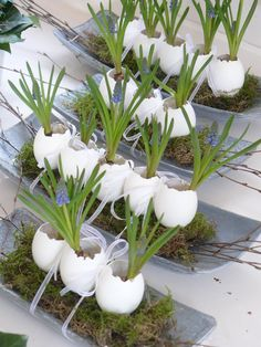 Grape hyacinths in eggshells can also be displayed in decorative egg cups along the center of an Easter breakfast table or in the center of a moss covered wreath.