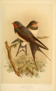 v.2 - Coloured figures of the birds of the British Islands / issued by Lord Lilford. - Biodiversity Heritage Library