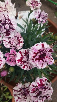 Dianthus smell amazing