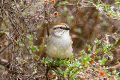 Add Shrubs to Your Bird-Friendly Landscape: Shrubs are great for all types of birds.
