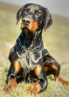 Doberman | Flickr - Photo Sharing!