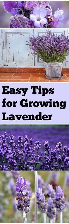 Alright, let's talk about lavender. Not only does it smell amazing, but it has an incredible amount of health benefits. It is a well known stress reliever which is why it is a popular scent in epsom salt. Having your own supply of lavender is incredibly beneficial. I would definitely look into stocking your garden with it.