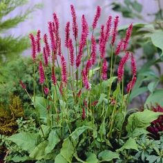 Buy Persicaria amplexicaulis Speciosa – Best Value for Money Plants, Planting Flowers, Plant Design, Plant Spacing, Colorful Flowers, Part Shade Plants, Flower Spike, October Flowers, Garden