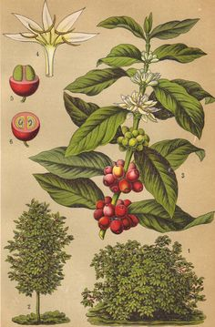 Coffee plant original 1922 botanical print - Food, natural history, wall decor…
