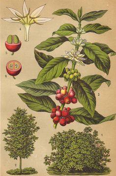 Coffee plant original 1922 botanical print Food by PaperThesaurus