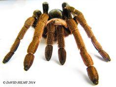 Cinnamon tarantula (Crassicrus lamanai) near Armenia, Cayo District, Belize | by David Hilmy