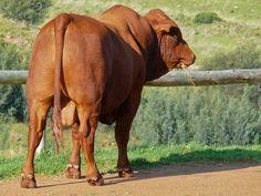 Gelykwater Bonsmara - Stoet bul agterstewe -  - http://gelykwater.co.za/?post_type=portfolio&p=2929