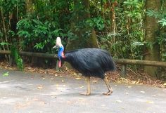 Increased wild Cassowary activity at the Daintree Discovery Centre - http://www.daintree-rec.com.au/%ef%bf%bcincreased-wild-cassowary-activity-daintree-discovery-centre/