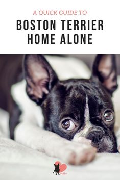 Discover How Boston Terriers Do Home Alone #bostonterrier #bostonterrierpuppy #bostonterrierhomealone #bostonterrierfacts #bostonterriercare #bostonterrierhealth #bostonterrierbehaviour #bostonterriertemperament #owningabostonterrier #dogenvironment #doghomealone #dogsepartiontips #dogowner
