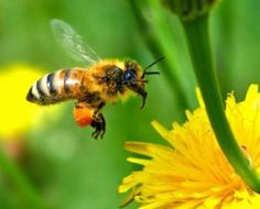 US rejects EU claim of insecticide as prime reason for bee colony collapse How Bees Make Honey, Honey Bees, Bugs, Foto Macro, Insecticide, Veneno, Save The Bees, Bees Knees, Royal Jelly