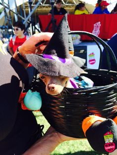 How bewitching! | First Coast No More Homeless Pets | #dogtoberfest2014 #fcnmhp #chihuahua
