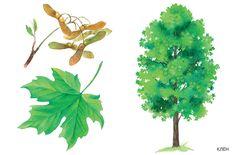 Шаблоны и картинки листьев разных деревьев Garden Trees, Trees To Plant, Tree Leaves, Plant Leaves, Autumn Activities For Kids, Forest Painting, Autumn Nature, Montessori Materials, Nature Journal
