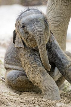"""""""Hey you guys! I'm a baby Asian elephant, just chilling out in the dust."""""""
