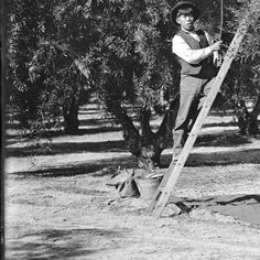 Asian American workers in an olive grove, Los Angeles, ca.1900 :: California Historical Society Collection, 1860-1960