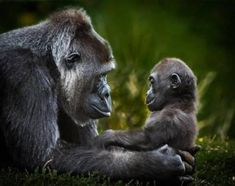 Celebrate Each New Day Safari Animals, Nature Animals, Cute Baby Animals, Animals And Pets, Cool Pets, Cute Dogs, West Highland Terrier Puppy, Baby Gorillas, Australian Animals