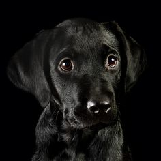 Black lab pup - so cute! This is a great pic. It's not easy getting good pictures of Black Labs because their coat color absorbs so much light.