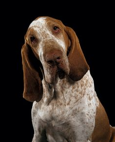 Bracco Italiano...another breed I will own one day!