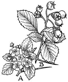 Got a version of this as a tat recently <3 Hawthorn.