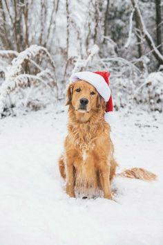 Golden Retrievers love snow!