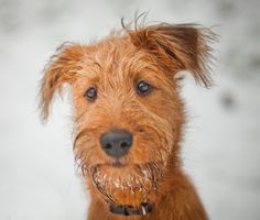 Irish Terrier - The Farmer's Friend | Dog Breed Guide