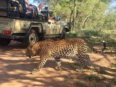 Kapama Gallery Safari Experience Big 5 Leopard Big 5, Safari, Gallery, Animals, Animais, Animales, Animaux, Animal, Dieren