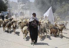 Une bergère palestinienne fuit sa maison avec son troupeau et un drapeau blanc suite à une offensive israélienne à Rafah dans le sud de la bande de Gaza. (Reuters/Ibraheem Abu Mustafa)