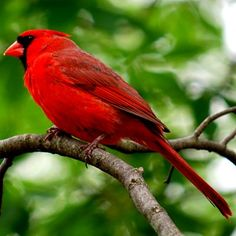 Gallery of all 50 state birds, including when and why each bird was adopted, what states share birds, and how to see each one. West Virginia State Bird, Northern Cardinal, State Birds, Cardinal Birds, Exotic Birds, Werewolf, Beautiful Birds, Photo Galleries, Wildlife