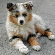 Australian Shepherd Puppy sitting on ground The Pet's Planet Aussie Puppies, Cute Puppies, Cute Dogs, Teacup Puppies, Corgi Puppies, Chiweenie Dogs, Bloodhound Dogs, Pomeranian Dogs, Fluffy Puppies